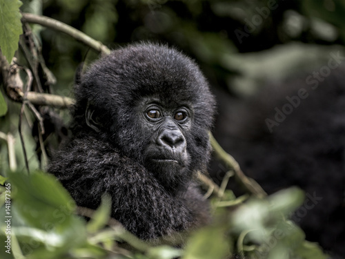 Young mountain gorilla in the Virunga National Park, Africa, DRC, Central Africa
