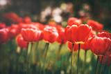 spring tulips in the garden
