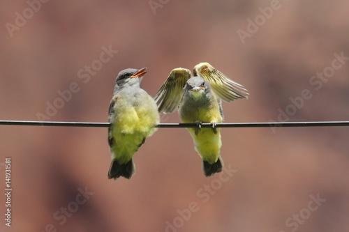 Western Kingbird (Tyrannus verticalis) Babies Poster