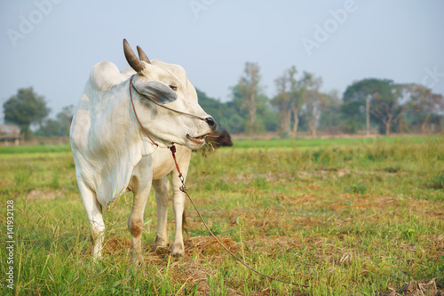 Poster Common Asian cow in the field