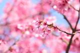 さくら, 春, 満開
