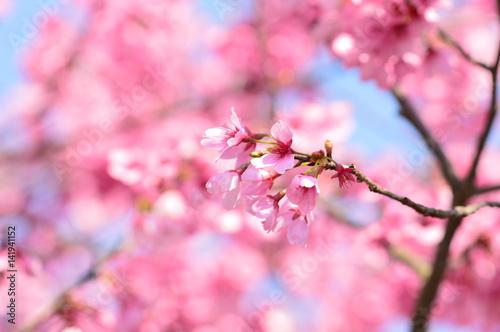 Fotobehang Candy roze さくら, 春, 満開