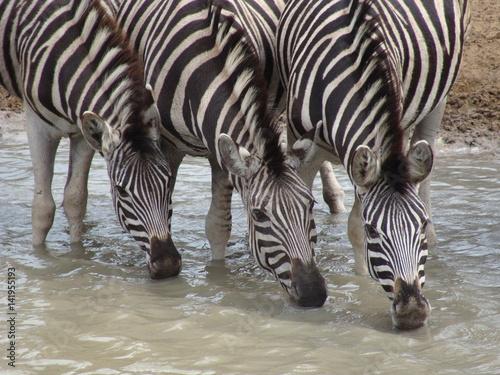 Poster Zebras an Wasserloch