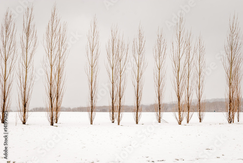 Isolated tall slim skinny trees with snow forest background. Snow on ground with isolated trees in line. Abstract nature background. Winter season forest background. Black and white. - 141990125