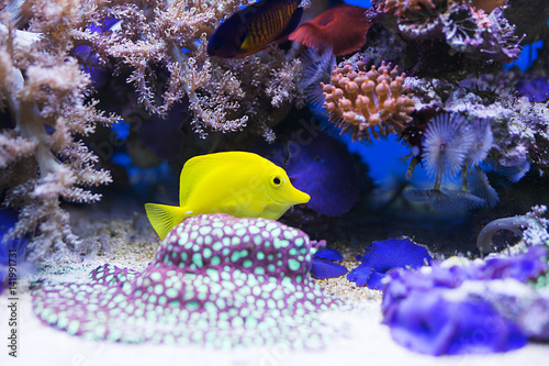 Pinturas sobre lienzo Yellow tang fish in aquarium