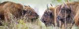 Bison bonasus - European bison - Milovice, Czech republic