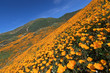 California Golden Poppy blooming in Walker Canyon, Lake Elsinore, CA