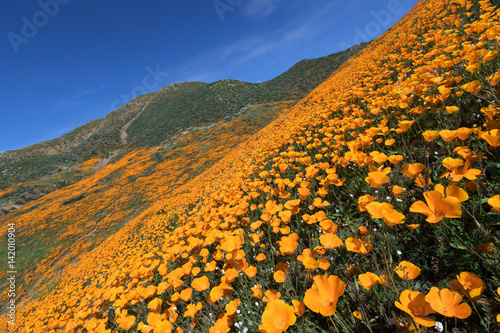 Fotobehang Klaprozen California Golden Poppy blooming in Walker Canyon, Lake Elsinore, CA