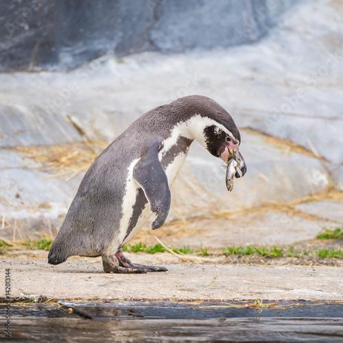Plakát Humboldt Penguin, Spheniscus humboldti, eating fish