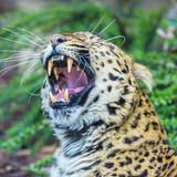 Leopard, panther, Panthera pardus, yawning