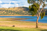 Two kangaroos grazing on green grass near the lake
