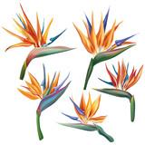 Strelitzia reginae (bird-of-paradise) flower - 142092397
