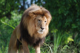 Beautiful Male Lion with a Thick Mane Encompassing His Head