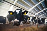 Cows in a farm. Dairy cows - 142132961