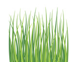 Fototapety High quality textured grass on white vector illustration.