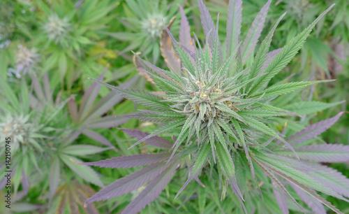 Cannabis in flower (Bud)