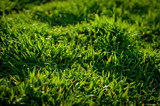 Fototapety Green Grass rice field. Concept of ecology. Natural background