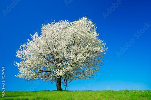 Großer alter Kirschbaum in voller Blüte unter blauem Himmel Poster