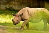 Rhino in the country