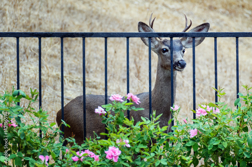 Young male deer looking at roses in fenced backyard плакат