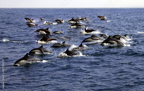 Fotobehang Dolfijn Large Pod of Pacific Common Dolphins