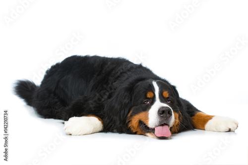 Poster Müder Hund