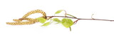 Birch tree catkin twig, betula pendula ament stem , young spring leaves, isolated on white