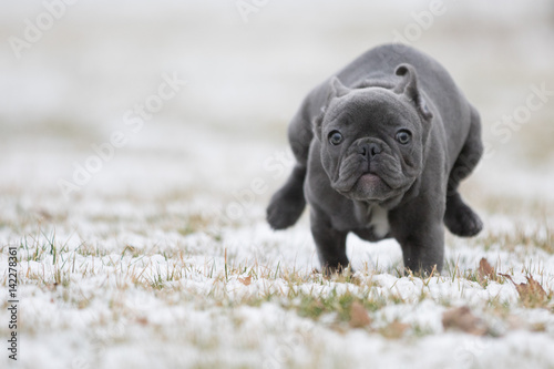 Poster Franse bulldog French Running