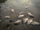 Dead fish on the river. dark water water pollution - 142285382