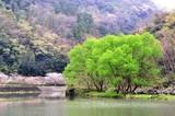 豊後高田の桜と柳