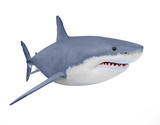 The Great White Shark - Carcharodon carcharias is a world's largest known extant predatory fish. Animals on white background.  - 142299376