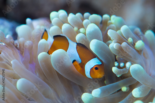 Pinturas sobre lienzo clown fish hosting on anemone