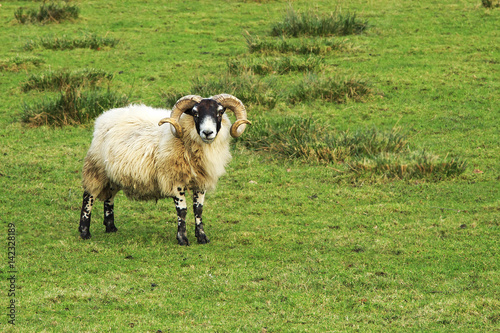 Lone Scottish sheep Poster