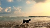 Happy Dog runs on sandy beach at sunset in Bali island slow motion video. Peaceful and serene scene and relaxing landscape background of sea shore in Asian resort and travel destination - 142329507