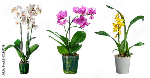 Set of orchid flowers in pot isolated - 142347313