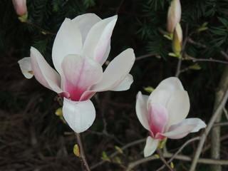 Magnolie weiß-rosa cpkr