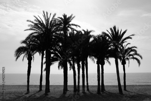 Row of palm trees on the beach with sea monochrome - 142374923