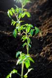 Piantine di pomodori piantate nel terreno nell'orto