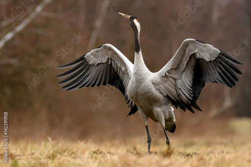 Common crane (Grus grus) - 142391908