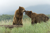 Brown bear boars sparring in Alaska
