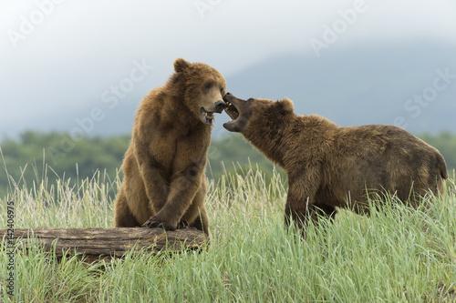 Brown bear boars sparring in Alaska Poster