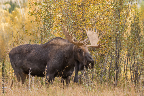 Bull Shiras Moose in Autumn