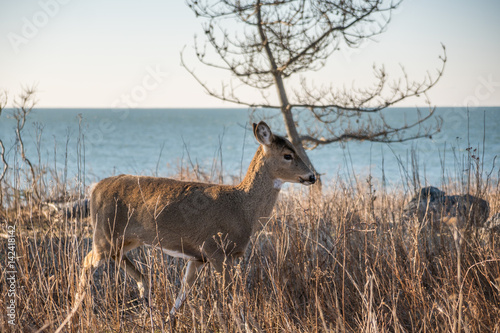 Deer with ocean in the background Poster