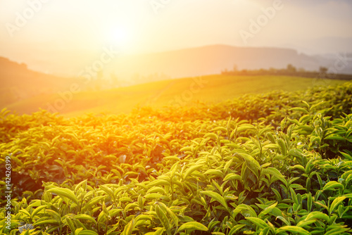 Amazing green tea leaves at tea plantation at sunset