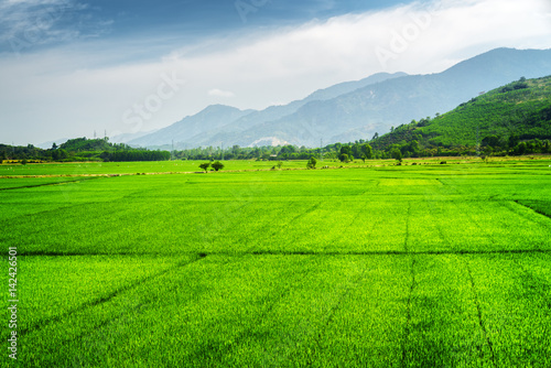Bright green rice fields. Scenic summer landscape