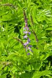 Fototapety Blooming Fodder or Eastern Galega, Galega Orientalis, in wild close-up, selective focus, shallow DOF