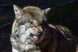 Zagrożenie wilkiem