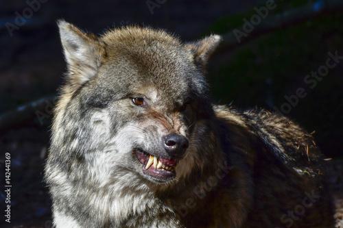 Aluminium Wolf Wolf Drohung