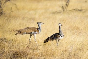 A couple of Kori Bustard (Ardeotis kori) walking in the grasslands of Etosha in Namibia, Africa.