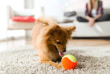 Beautiful young woman with her dog playing with ball at home. - 142450748
